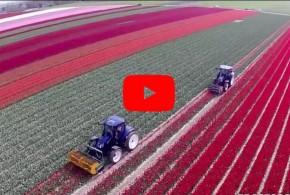 Интересное и фантастическое видео — история выращивания тюльпанов в Голландии