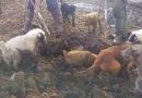 ОГРОМНЫЕ КРЫСЫ И СОБАКИ!! Собаки очищают огород от крыс!