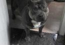 Хозяйка спросила у пёсика, хочет ли он погулять. Посмотрите, что ответил этот питбуль!