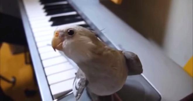Ну очень талантливый попугай Корелла. Такого я еще не видела!