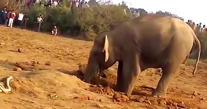 Слониха 11 часов рыла яму в земле. Вы будете потрясены, когда узнаете зачем!