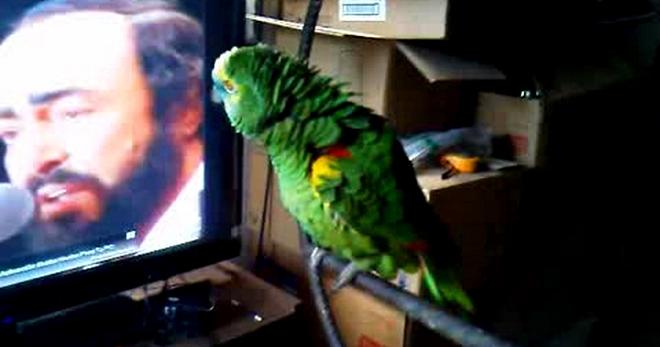 Попугай копирует Лучано Паваротти. Чудо природы!