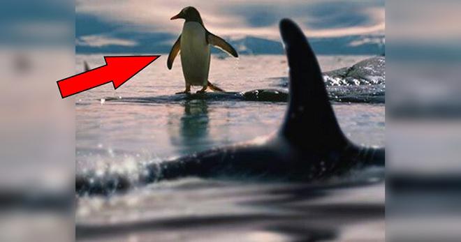Косатки уже нагоняли несчастного пингвина. Только взгляните, как он придумал спастись!