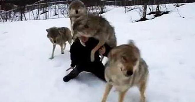 На нее из лесу выбежали 4 волка. То, что произошло дальше, просто невероятно!